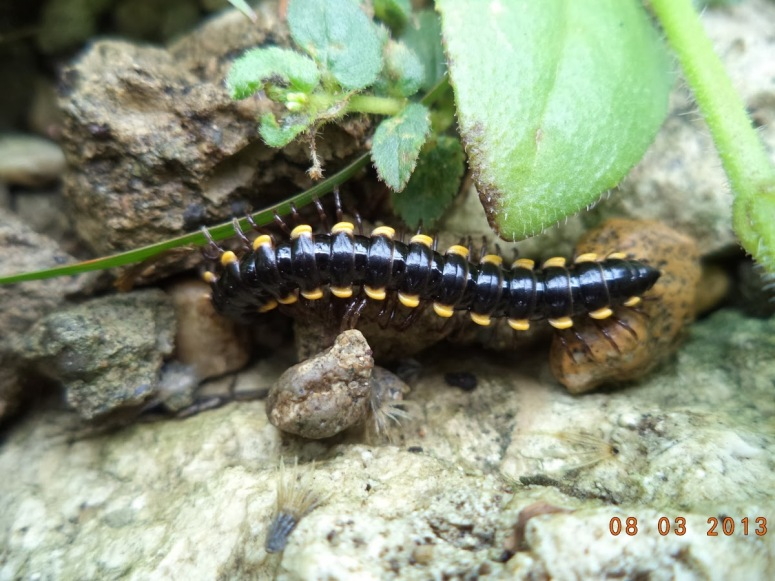 Millipede Asiomorpha coarctata